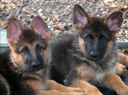 Puppies, German Shepherd