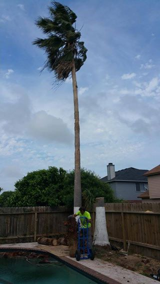 This shot was taken midway through a palm removal job. We removed 3 palms, all over 40 feet tall that were hanging over a customers pool and fence. They were safely removed and the stumps were ground out.