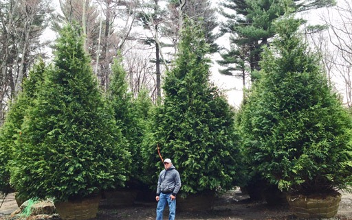 Great Evergreen Trees for Screening