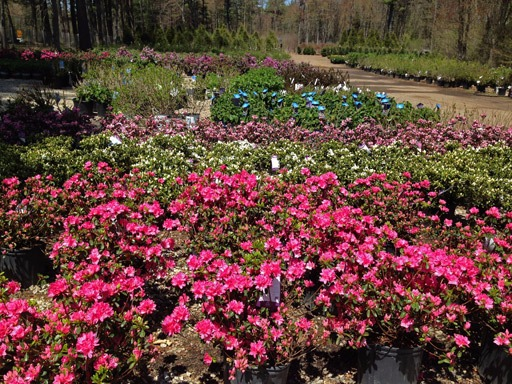 Azalea at Hopkinton Stone and Garden Sales Yard