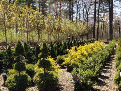 Evergreen and Ornamental Shrubs and Trees