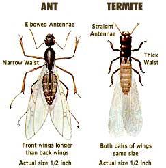Loyal Termite & Pest Control ant and termite